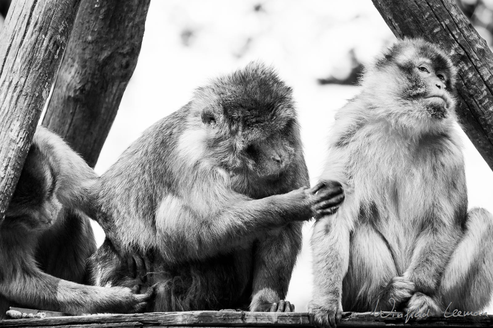 Berberapen in Ouwehands dierenpark